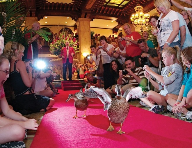The Duck March at the Peabody Hotel Source: amusingplanet.com